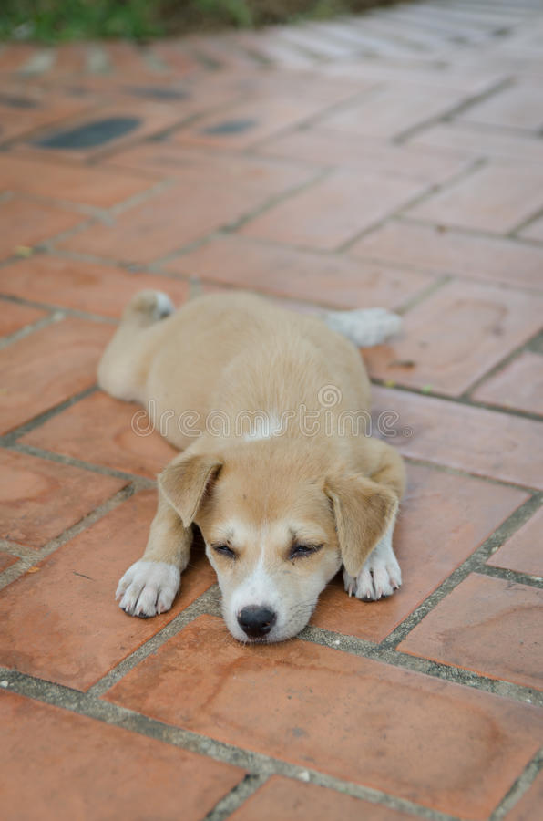 Psi Tajlandia zdjęcia stock