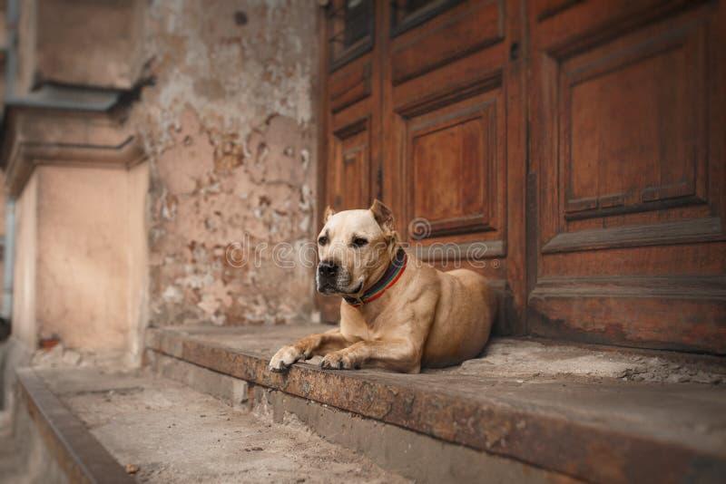 Psi traken Amerykański Staffordshire Terrier obraz stock