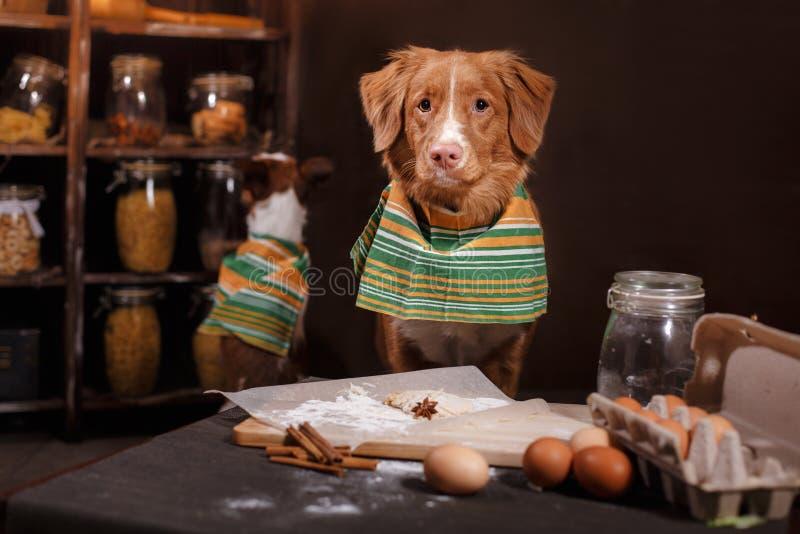 Psi traken Jack Russell Terrier Scotia i Psi nowa Nurkuje Tolling aporteru, foods jest na stole w kuchni zdjęcie royalty free