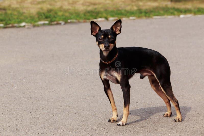 Psi traken Machester Zabawkarski Terrier fotografia royalty free