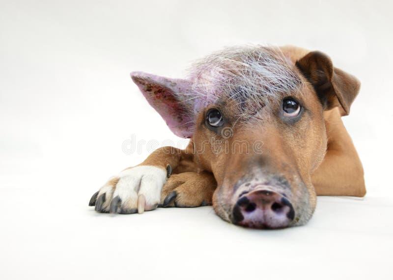 Psi traken, pies, nos, dysza