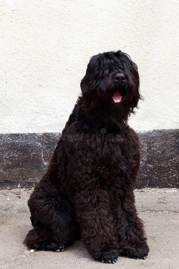Psi traken Rosyjski Czarny Terrier obraz royalty free