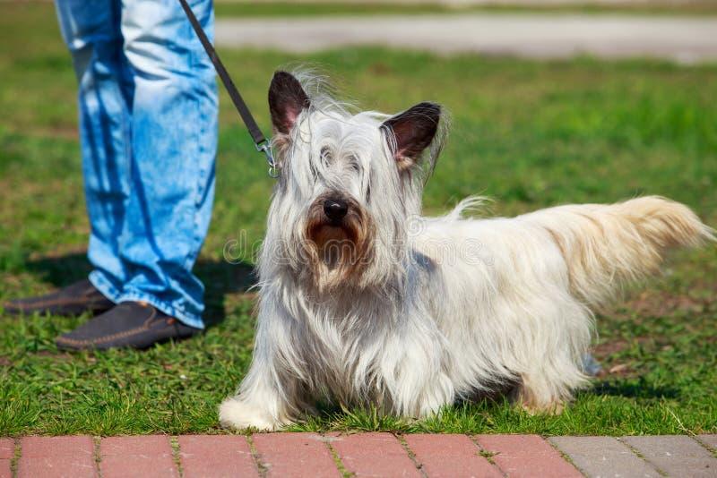 Psi traken Skye Terrier fotografia stock