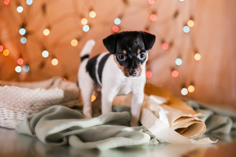 Psi traken zabawki lisa teriera szczeniak fotografia stock
