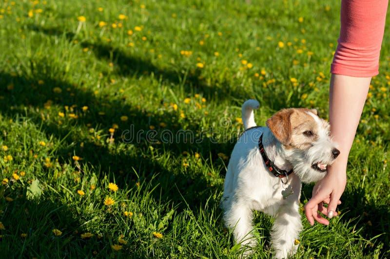 Psi trakenu foksik przeciw zieleni park w lecie fotografia royalty free