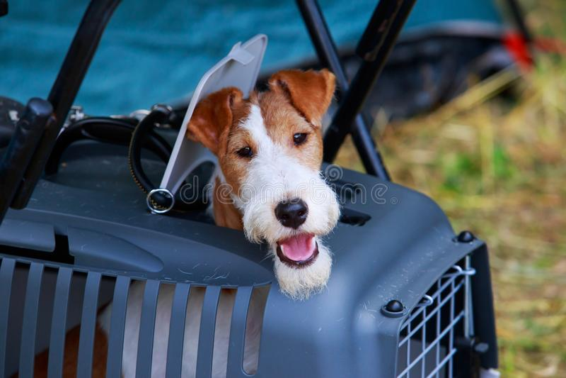 Psi trakenu Fox terier zdjęcia royalty free