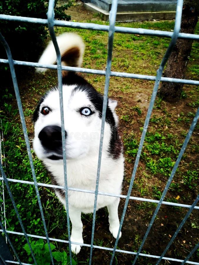 Psi trakenu husky w metal klatce zdjęcie royalty free