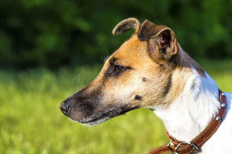 Psi trakenu lisa terier w parku, profil obraz royalty free