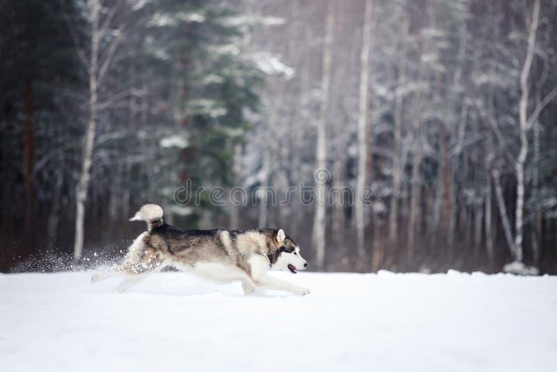 Psi trakenu Syberyjskiego husky bieg na śnieżnym zdjęcie stock