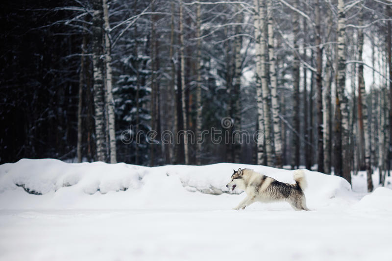 Psi trakenu Syberyjskiego husky bieg na śnieżnym fotografia royalty free