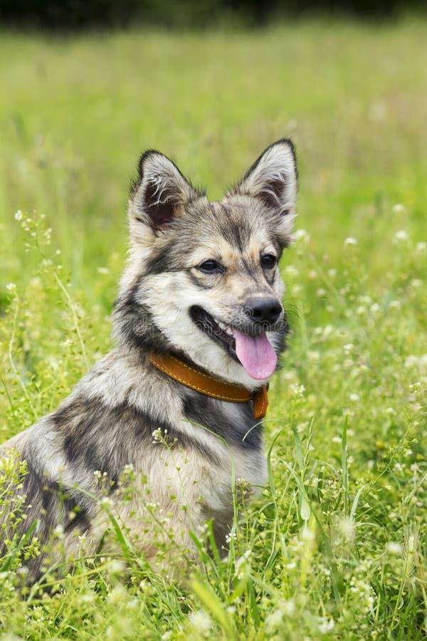 Psi trakenu Visigoth Spitz zdjęcia stock