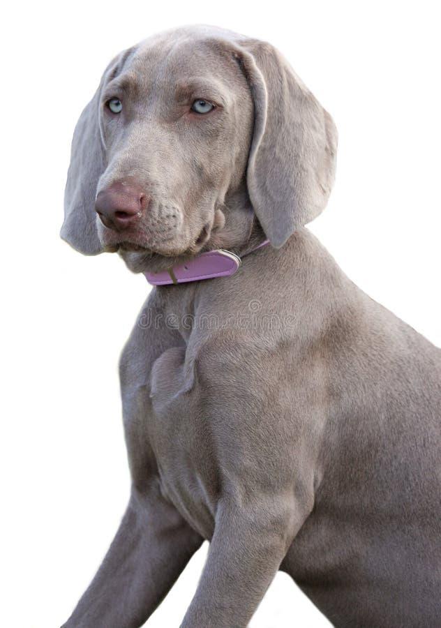 psi weimaraner obrazy stock