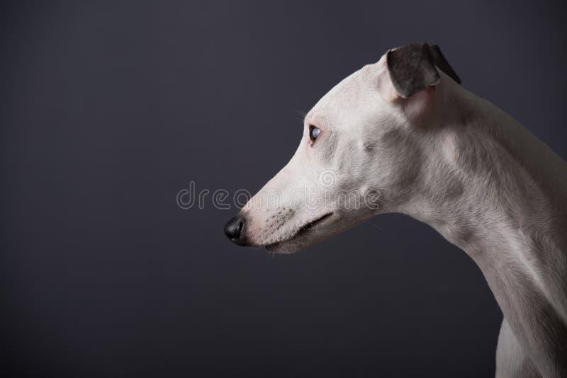 Psi whippet fotografia stock