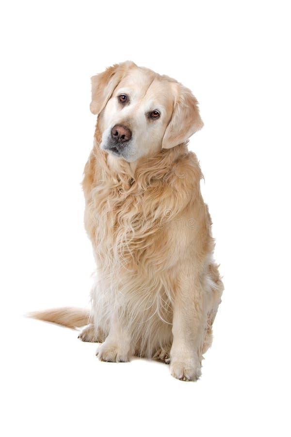 psi złoty aporter zdjęcie stock