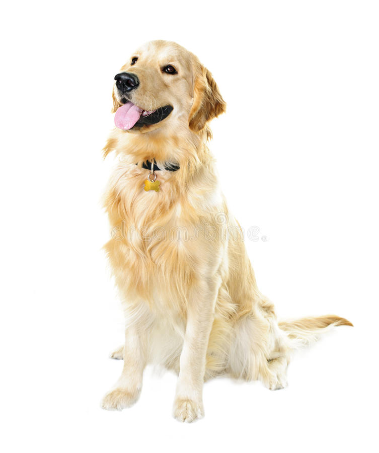 psi złoty aporter obraz stock