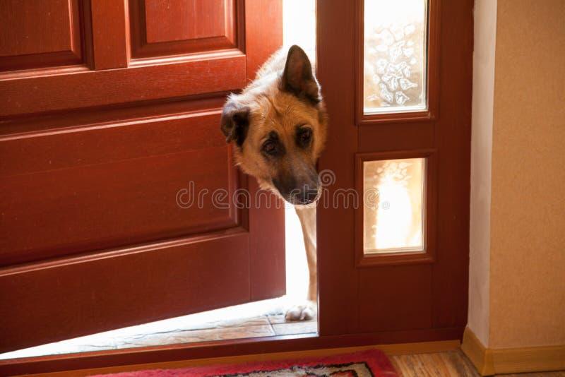 Psi zerknięcia w drzwi fotografia royalty free