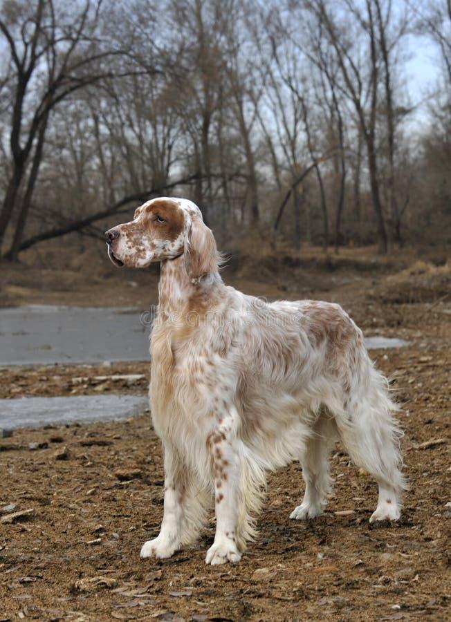 Psi zwierzęcia domowego Angielszczyzn Legart obrazy stock
