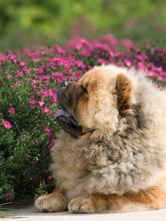 Psi zwierzęcia domowego chow fotografia royalty free
