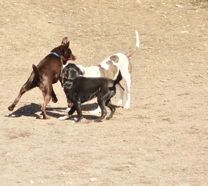 Psia agresja wśród trzy psów, brąz, czarny i biały obraz stock