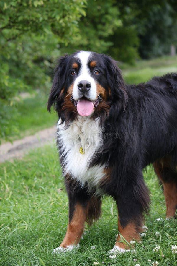 psia bernese góry zdjęcia stock