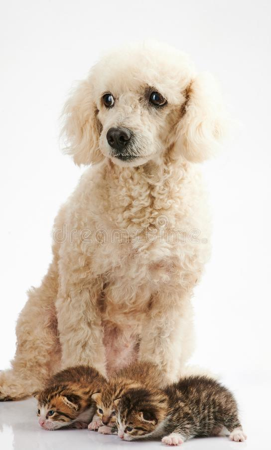 Psia bierze opieka kot fotografia stock