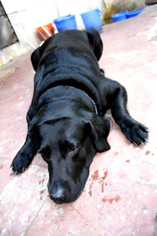psia choroba fotografia stock