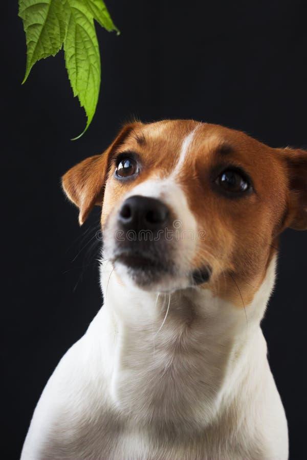 Psia dziewczyna Jack Russell patrzeje daleko od na czarnym tle fotografia stock