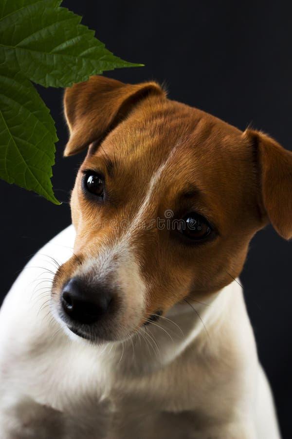 Psia dziewczyna Jack Russell patrzeje daleko od na czarnym tle zdjęcia stock