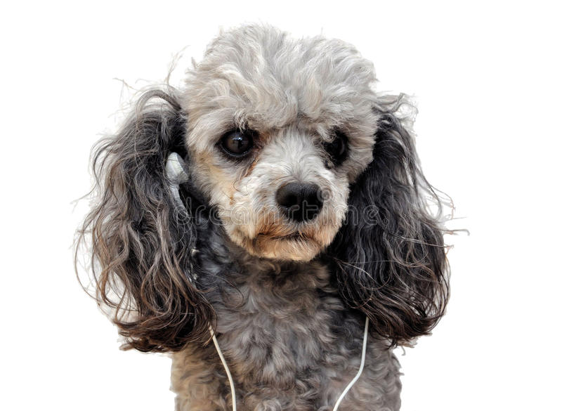 psia muzyka obrazy royalty free