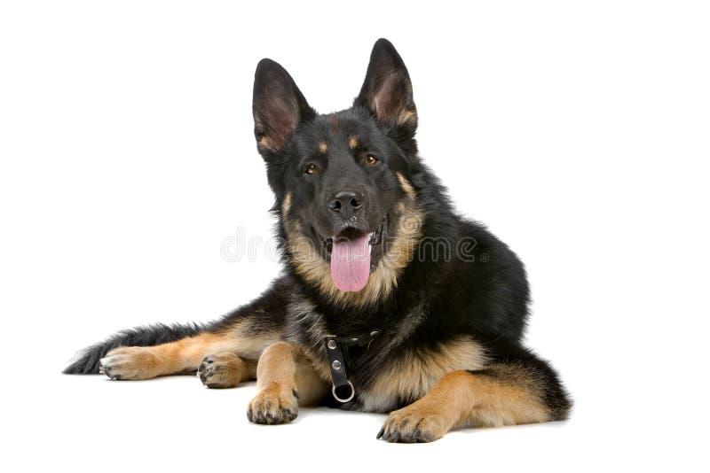 psia niemiecka baca fotografia royalty free
