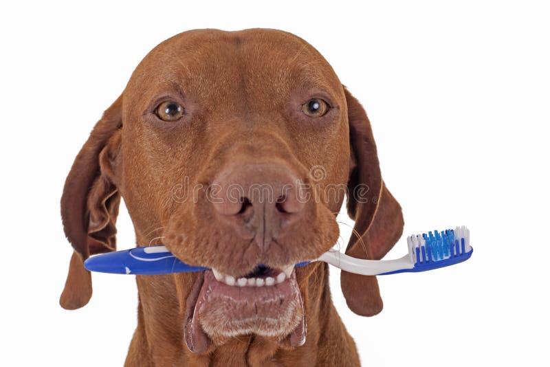 Psia oralna higiena obraz stock