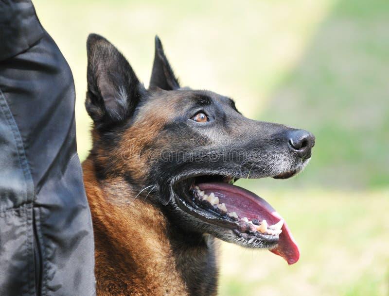 psia policja obrazy royalty free