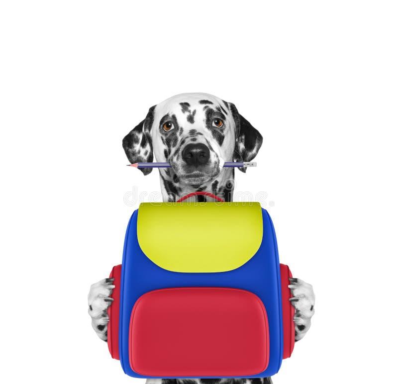 Psia posłuszeństwo szkoła - dalmatian z torbą odizolowywającą na bielu zdjęcia stock