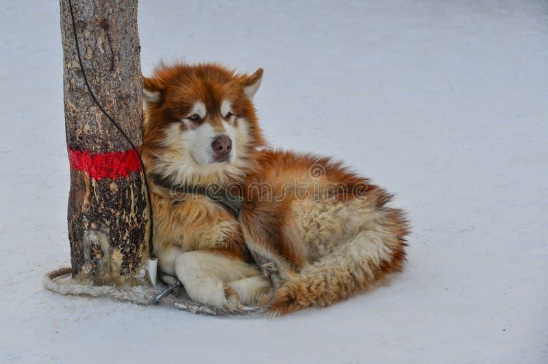 Psia pozycja na śniegu fotografia stock
