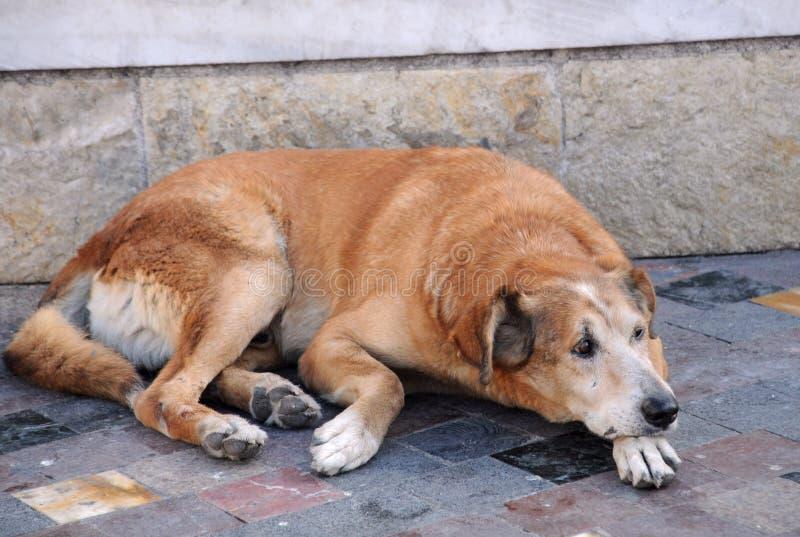 psia przybłąkana ulica obrazy royalty free