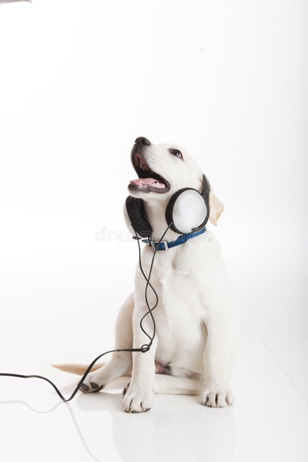psia słuchająca muzyka zdjęcie stock