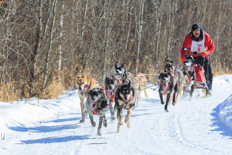 Psia sledding rywalizacja zdjęcie stock