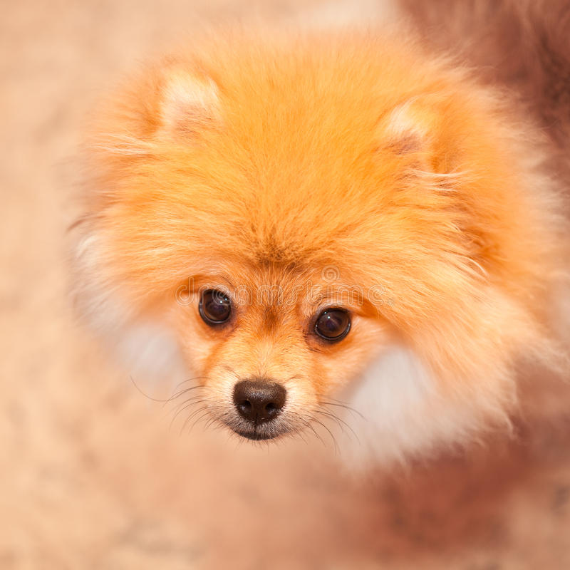 Psia spitz pomarańcze. Mali psów trakeny. zdjęcie royalty free