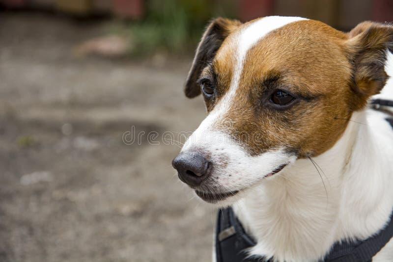 Psia trakenu foksika pozycja Portret pies obraz stock