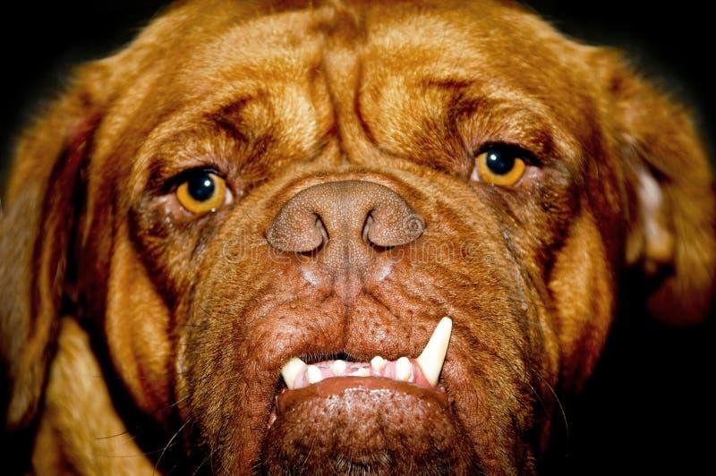 psia twarz zdjęcia stock