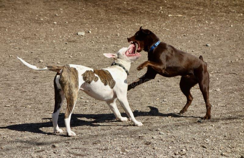 Psia walka obrazy stock