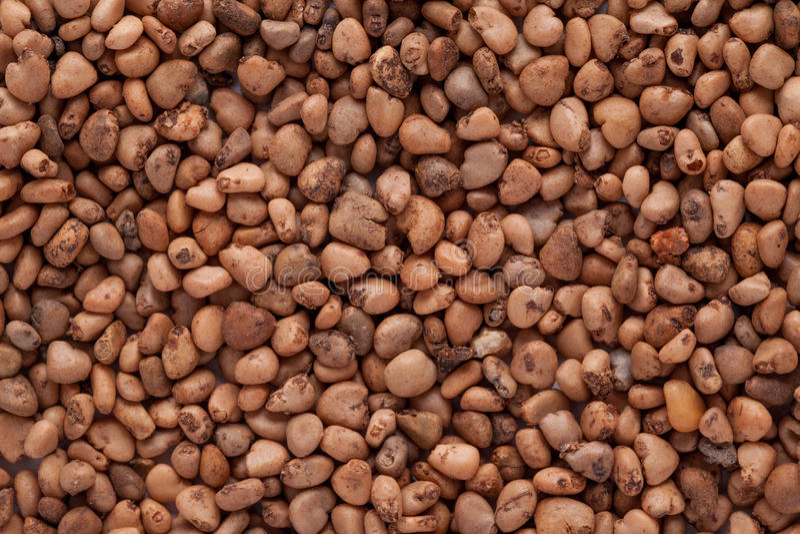 Psidium guajava (guaiava) immagine stock