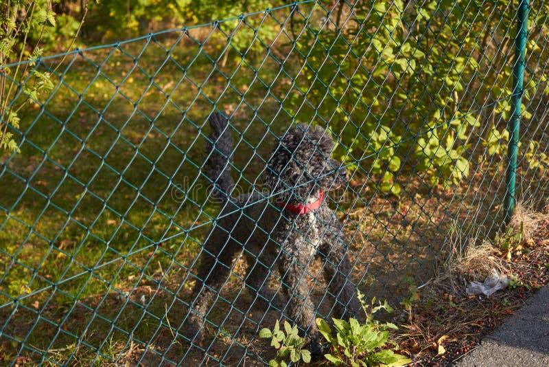 Psie pudel barkentyny na przechodniach Pies za ogrodzeniem Zwierzę domowe biega na gazonie Szarość są prześladowanym za ogrodzeni zdjęcia royalty free