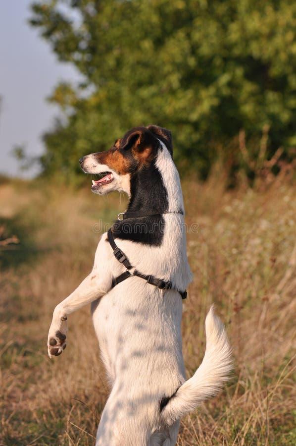 psie tylne nogi obrazy stock
