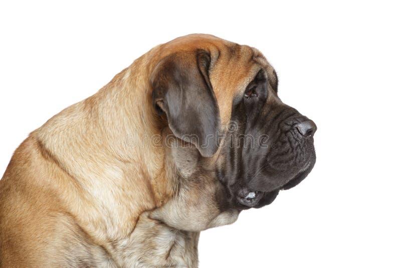 psiego angielskiego mastifa boczny widok obrazy royalty free