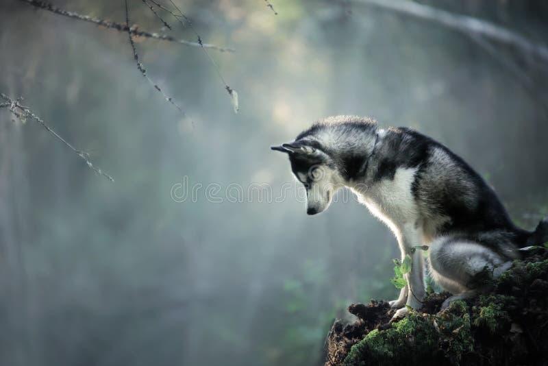 Psiego trakenu Syberyjski husky fotografia stock