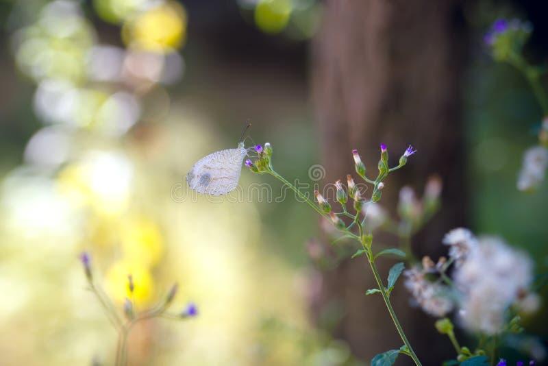 Psique branca da borboleta fotos de stock