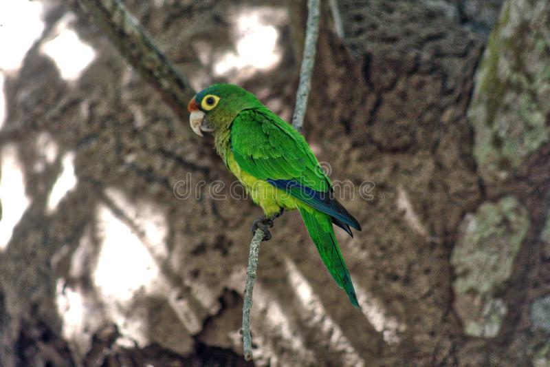 Psittacara holochlorus,在囚禁的墨西哥绿色长尾小鹦鹉,ventanilla瓦哈卡,México盐水湖  免版税图库摄影