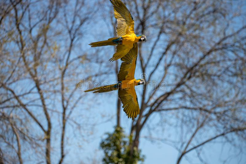 Psittacoid of het gemeenschappelijke papegaai vliegen vrij en in paren stock foto's