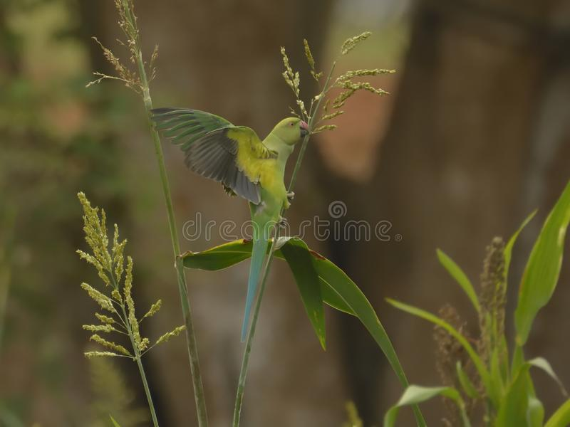 Psittaculakrameri of Rose Ringed Parakeet - het Voederen gewas royalty-vrije stock fotografie